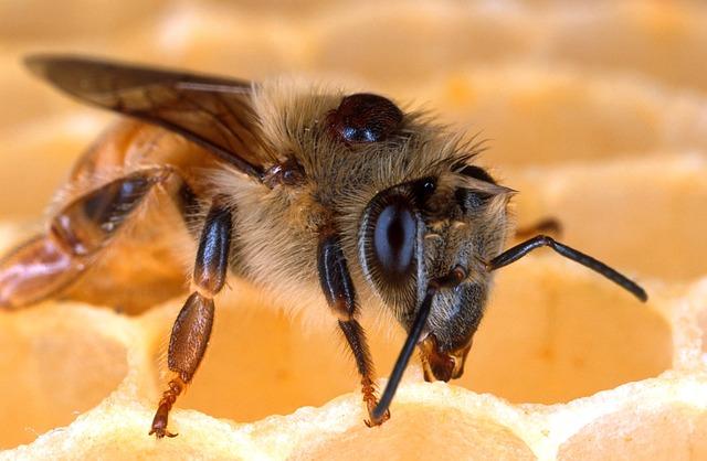 Honigbiene mit Varroamilbe